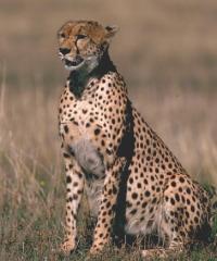 cheetah77.jpg